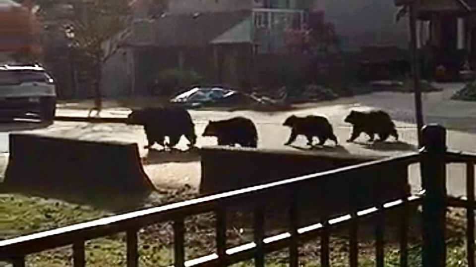 Family of bears in Port Coquitlam