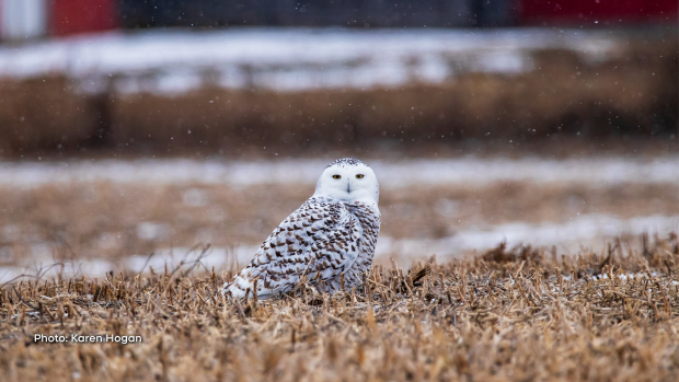 Snowy owl enjoying its surroundings. (Karen Hogan/CTV Viewer)