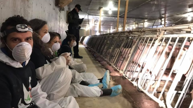 Activists from Direct Action Everywhere were arrested after occupying a pig farm in Saint-Hyacinthe Dec. 7, 2019. SOURCE Facebook
