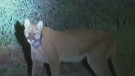 Hunt underway in California for mountain lion