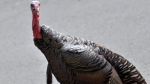 In this Sept. 27, 2017 photo, a wild turkey walks through a residential neighborhood in Brookline, Mass. In the small Quebec town of St-Prosper-de-Champlain - population 552 - a newly arrived resident has been trotting around like it owns the place. Mayor France Bedard said its been about 10 days since a wild turkey arrived in the village, about 190 kilometres northeast of Montreal, and saw it fit to settle smack in the heart of town. THE CANADIAN PRESS/AP/Collin Binkley