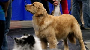 Dogs of all shapes and sizes competed for the top prize at the second annual Prairie Christmas Dog Shows and Trials event. (Brendan Ellis/CTV News)