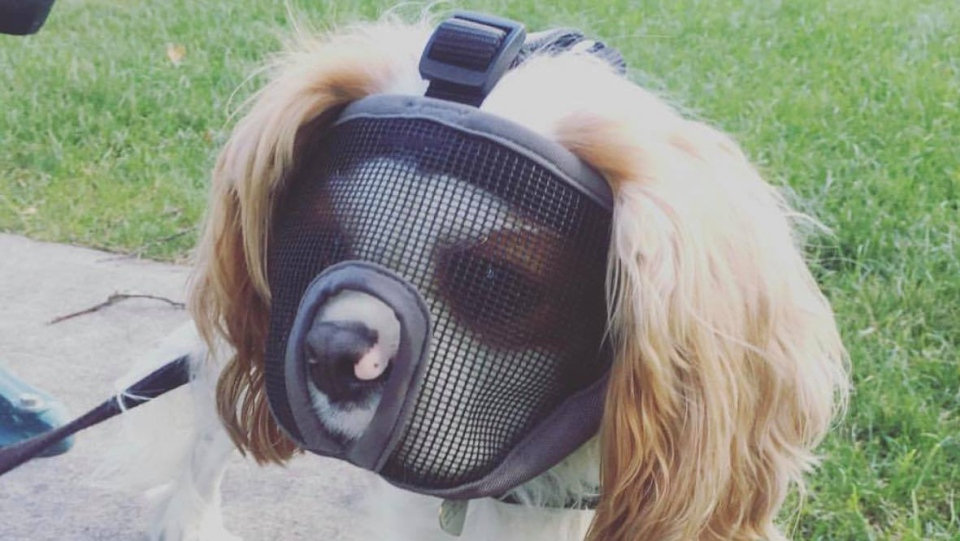 Emma Alter's King Charles spaniel Maggie mistakenly ingested cannabis and later was made to wear a mesh mask for a short time to prevent another incident. (Alter)