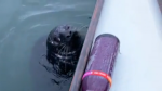 Seal inspects dragon boat in Vancouver's False Cre