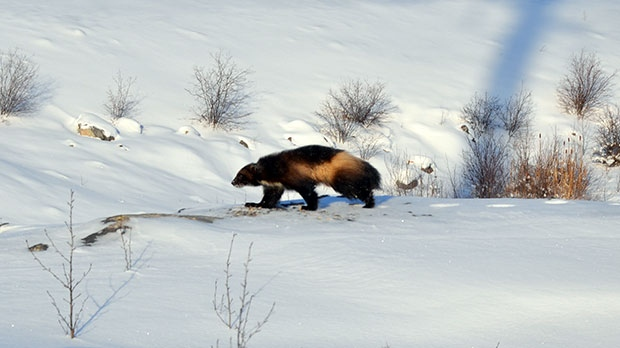 Wolverine spotted at the Wuskwatim Generating Station. Photo by Tim Wenstob.