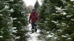 Pud Johnston surveys this year's crop of Christmas trees at his Oxford Station farm.