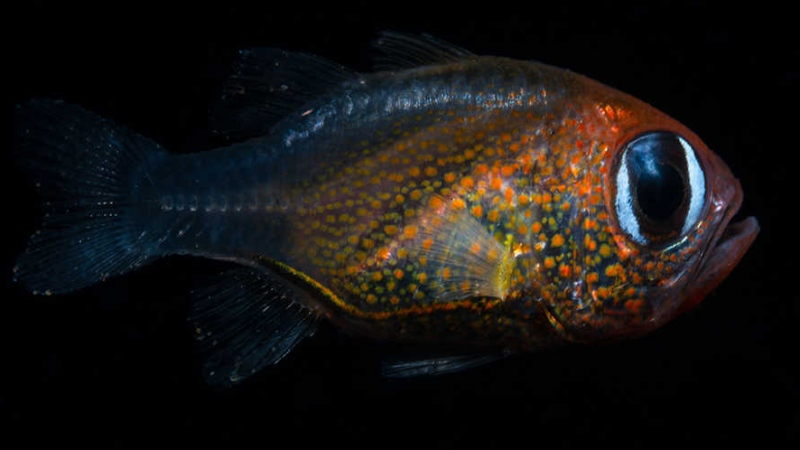The newly described cat-eyed cardinalfish. (Mark Erdmann via California Academy of Sciences)