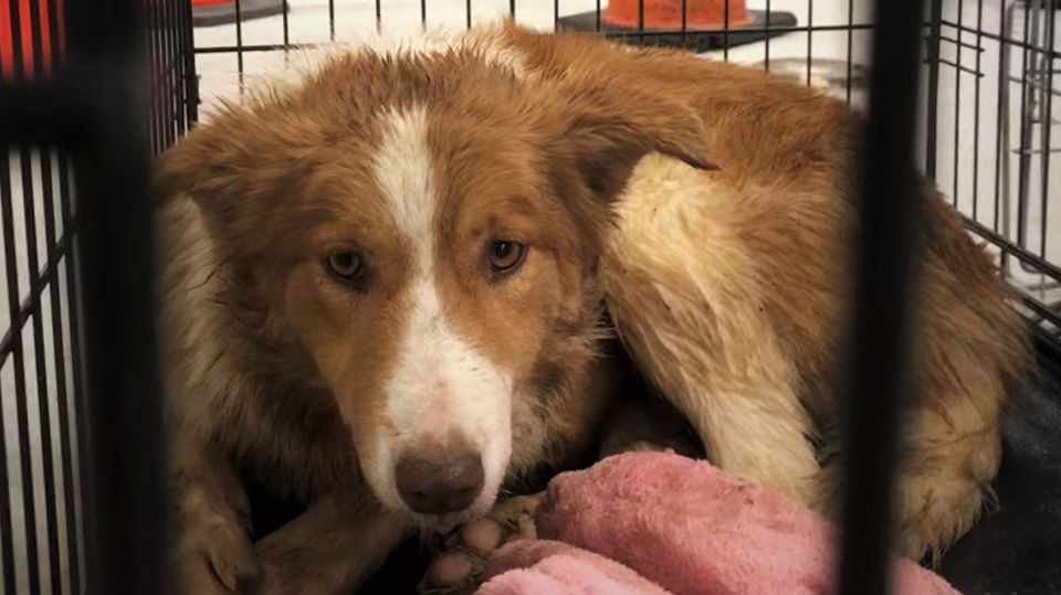 The SPCA says it seized 35 dogs from a puppy mill near Wolfville on Dec. 10, 2019. (Nova Scotia SPCA)