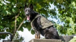 The Abbotsford Police Foundation is providing funding for four protective vests for police dogs. (Abbotsford Police Department/Twitter)