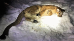 A cougar that was tranquilized and released in Williams Lake, B.C., is shown in an image posted on Twitter by the B.C. Conservation Officer Service.