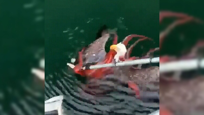 Fsh farmers rescue eagle from octopus