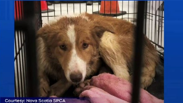 This is one of the 35 animals that are still being evaluated by the Nova Scotia SPCA. (COURTESY N.S. SPCA)