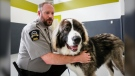 Brad Nichols, Senior Manager of Animal Cruelty Investigations with the Calgary Humane Society, pets Rambo, a surrendered dog, at the facility in Calgary, Alta., Monday, Dec. 9, 2019.THE CANADIAN PRESS/Jeff McIntosh
