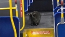 This photo Tweeted on Thursday, Dec. 12, 2019 reportedly shows a raccoon on a city bus in London, Ont. (@sarahchun02 / Twitter)