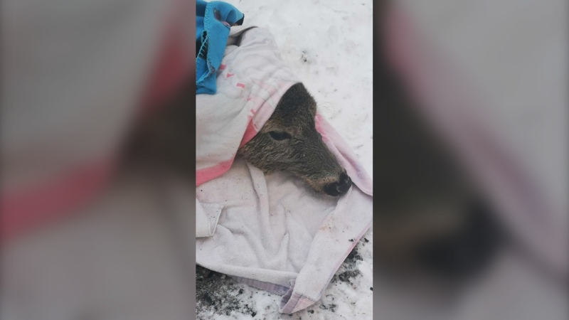 Doe after being rescued from Echo Lake December 10, 2019. (Andrea Joan)