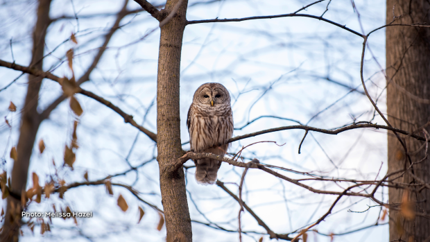 Look whoooo is hanging out in Rockcliffe Park. (Melissa Hazel/CTV Viewer)