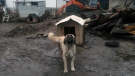 Reena, an Anatolian shepherd, was found tethered in the mud. (SPCA photo)