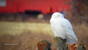 Beautiful male snowy owl in a farmers field.  (Marc Messier/CTV Viewer)