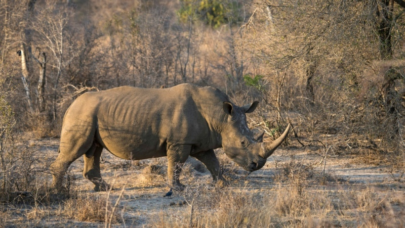 A white rhino in South Africa's Kruger National Park, home to 80 percent of the world's rhino population and an epicentre for poachers seeking rhino horn (AFP)