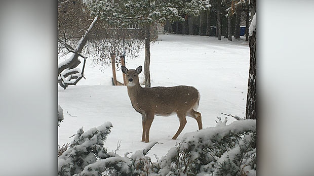 Deer In Fresh Snow. Photo by Kim Shiel.