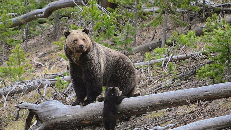 This April 29, 2019 file photo provided by the United States Geological Survey shows a grizzly bear and a cub along the Gibbon River in Yellowstone National Park, Wyo. (Frank van Manen/The United States Geological Survey via AP)