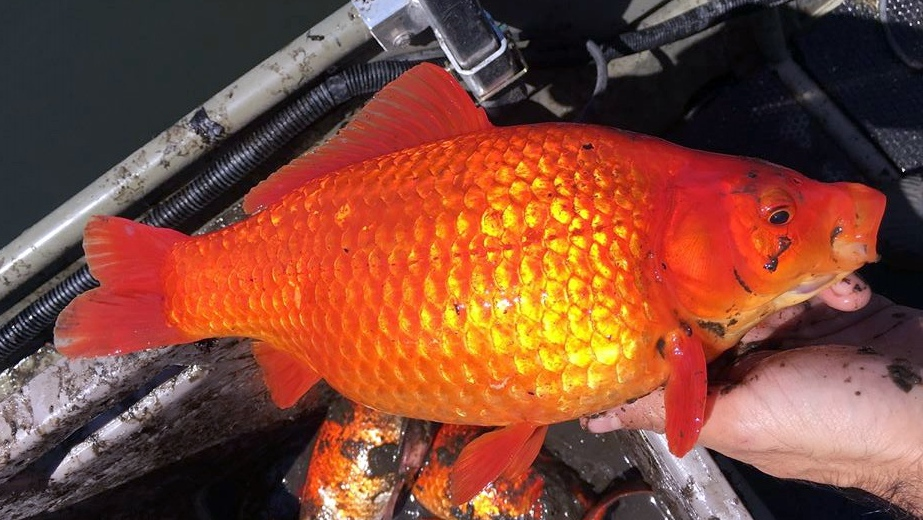 Goldfish found in the wild