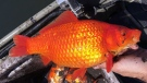 The Ministry of Forests, Wildlife and Parks is reminding Quebecers not to release aquarium pets like goldfish into the wild, as they spread quickly and are impossible to eradicate. SOURCE Ministry of Forests, Wildlife and Parks