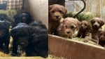 Ontario Provincial Police released these images of puppies that were stolen from a barn in Pilkington Township, just north of Guelph, Ont. (OPP/ Twitter)
