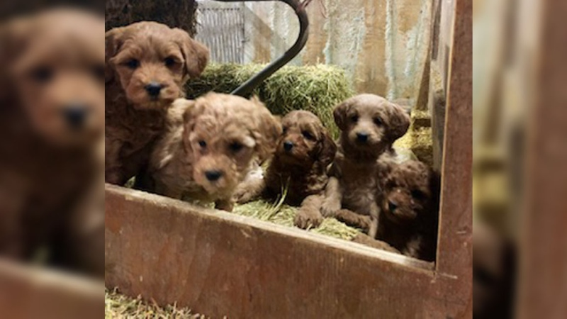 19 puppies have been reported stolen from a rural property in Wellington County. (Photo: Wellington County OPP) (Dec. 14, 2019)