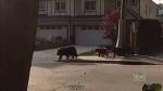 Bear feasts on livestock, cake in Maple Ridge