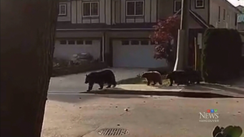 Bear feasts on livestock, cake in Maple Ridge