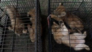 Lion and leopard cubs sit in cages as they are displayed during a police press conference in Kampar, Riau, Indonesia, Sunday, Dec. 15, 2019. (AP Photo/Rifka Majjid)