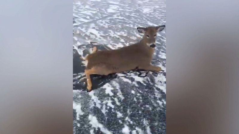 Man saves three deer stranded on frozen lake