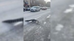 Alligator caught walking accords Montreal street