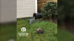 Critter Care Wildlife Society says a Surrey resident tried to drown this raccoon in a garbage can before the incident was reported to the SPCA. (Submitted/Critter Care Wildlife Society)