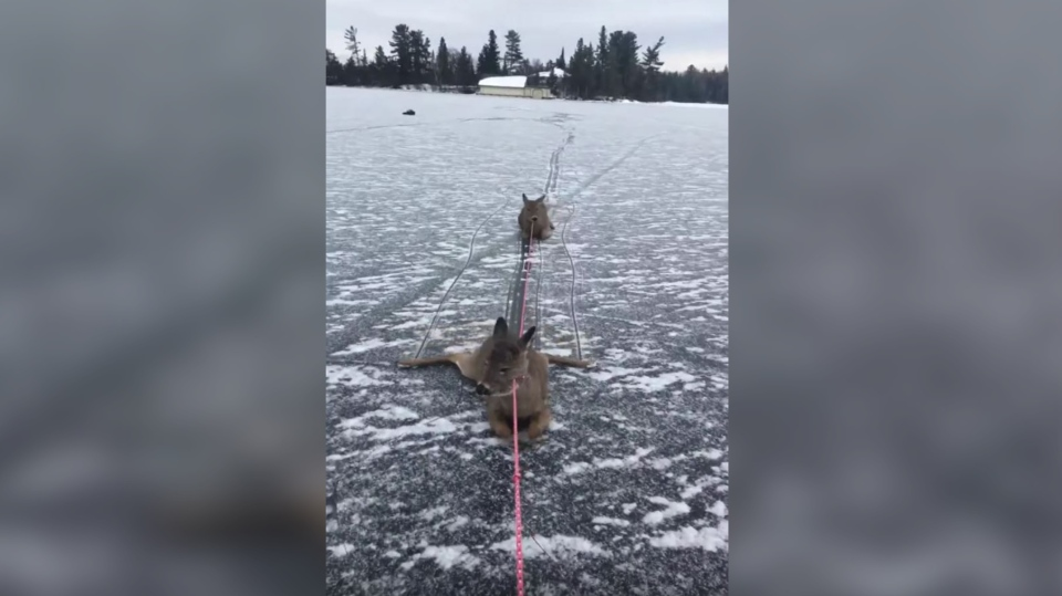 An Ontario man said he was skating on his lunch break when he came across three deer stranded on a frozen lake and decided to take action. (Ryan Peterson via Storyful)