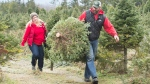 Quinn Farm co-owners Phil and Stephanie Quinn carry Christmas Trees that are ready for customers on their farm in Notre-Dame-de-L'lle-Perrot west of Montreal, Tuesday, December 10, 2019. THE CANADIAN PRESS/Graham Hughes