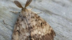 An adult male gypsy moth is pictured: (BC Gov)
