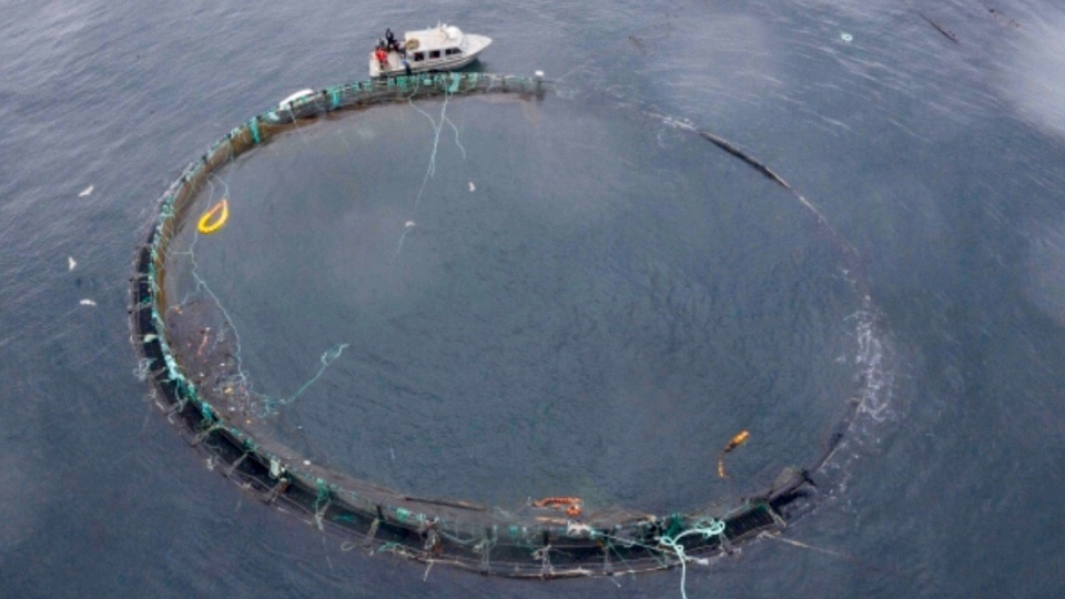Fish farm pen breach