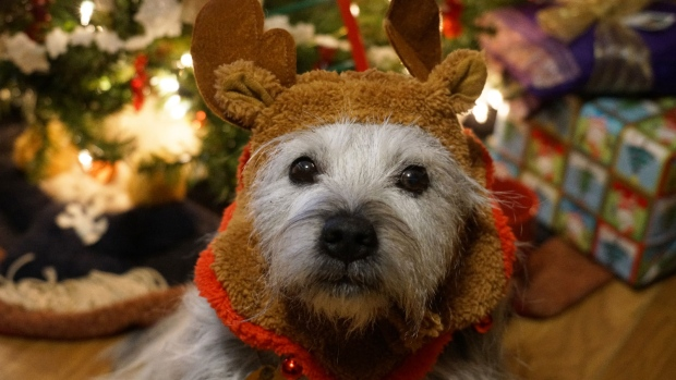 Our dog, Bekki with her Christmas gear on. (Gloria Tunn/CTV Viewer)