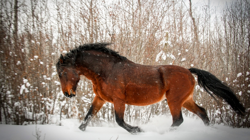 'A distinct identity:' Advocacy group wants protection for Alberta's wild horses