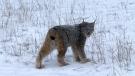 Whiteshell Wildcat. Photo by Kevin Strueby.