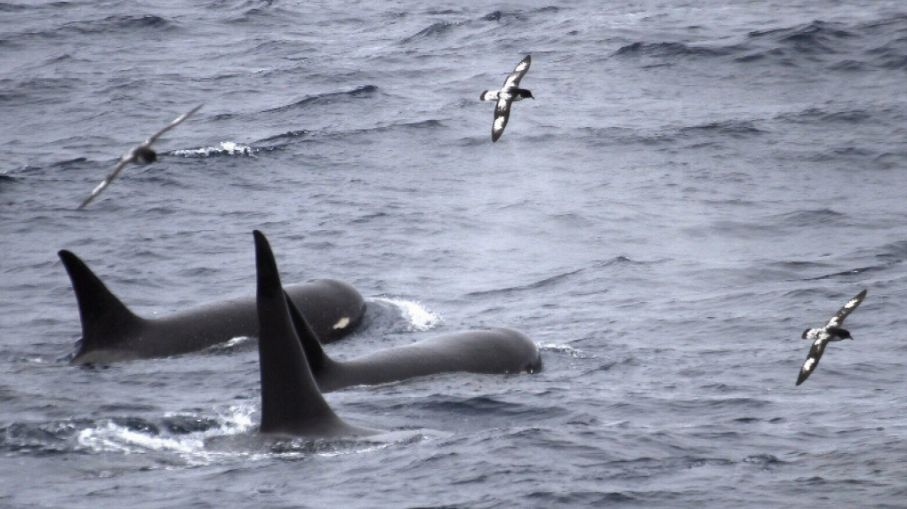 'Like finding a unicorn': Victoria researcher photographs ultra-rare orcas