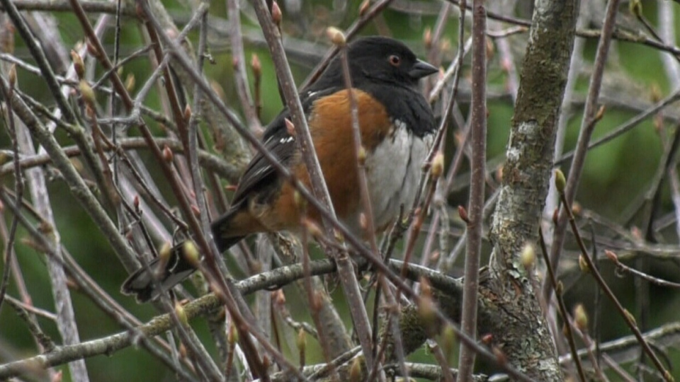 Local ornithological experts say that bird counts in Victoria are the lowest they've been in over a decade: (CTV News)