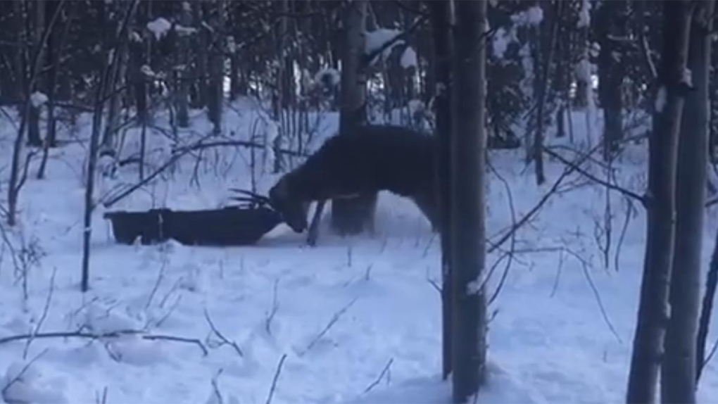 Caught on camera: Deer gets tangled up in toboggan ropes