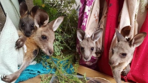 Crafters across the world are doing their part to help animals affected by the Australian bushfires. (Credit: Anni Grindrod/Animal Rescue Craft Guild Facebook page)