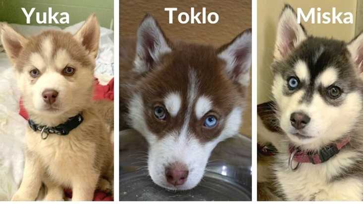 17 Husky Puppies Rescued In B C Interior Now Up For Adoption