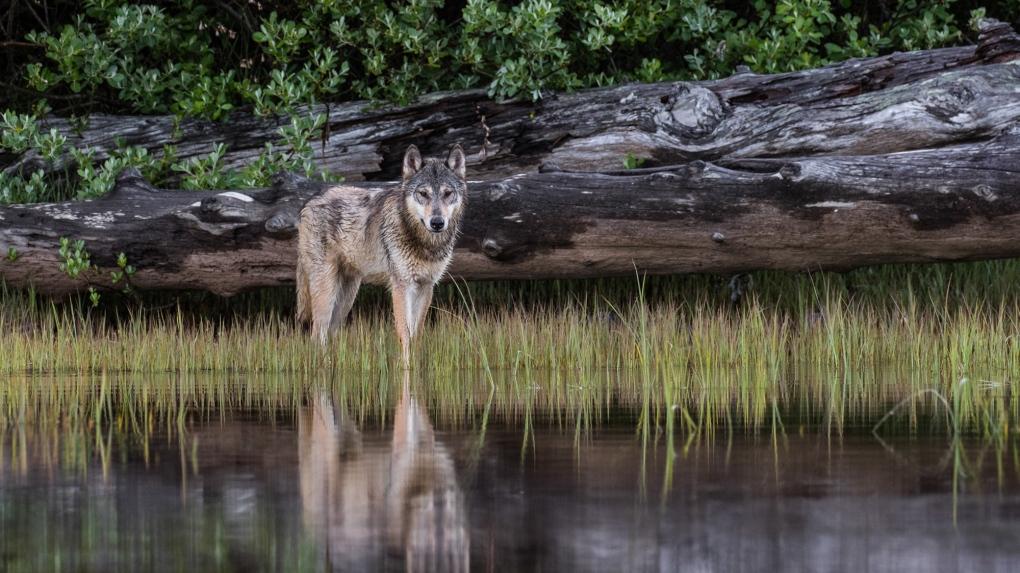 Coastl Wolves