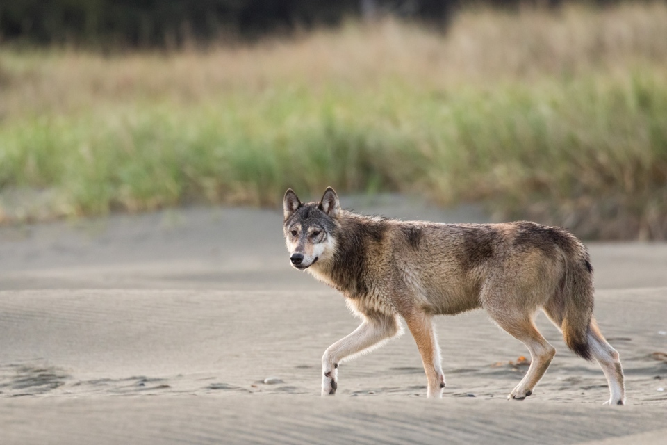 Rare Vancouver Island coastal wolves were spotted by a pair of wildlife photographers in May, 2019: (Liron Gertsman)