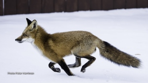 The Stittsville fox continues to be active. He is a regular visitor to our yard. (Peter Merriman/CTV Viewer)